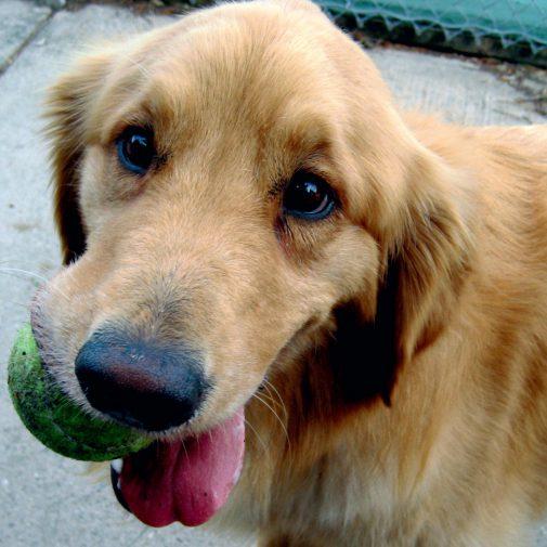 Dier_Hond