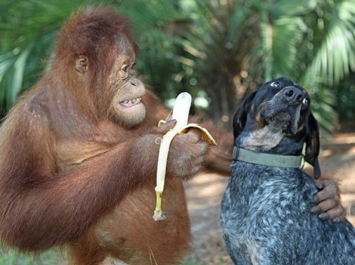 ORANGUTAN-AND-DOG-banana