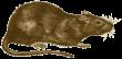 Ruskea_rotta