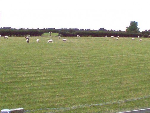 Sheep_grazing_on_flat_land_-_geograph.org.uk_-_31928